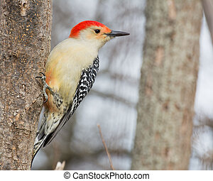 Red-bellied Woodpecker Perched - Male red-bellied woodpecker...