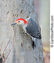Red-bellied Woodpecker Perched