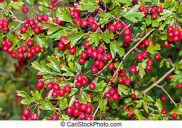 red berries and green leaves