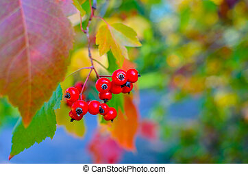 Red berries and leaves of hawthorn on the tree. Autumn natural background