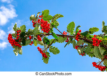 Red berries and rowan leaves against the sky