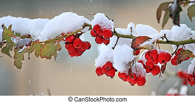 Red berries covered with snow. - Panoramic view on branch ...