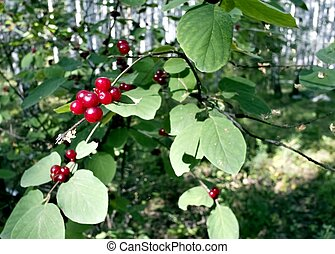 red berries growing on the bushes