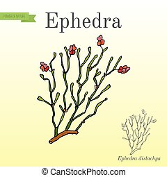 Red berries herb ephedra distachya, or Ma Huang medicinal...