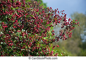 Red berries in a tree