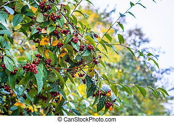 Red berries in the autumn