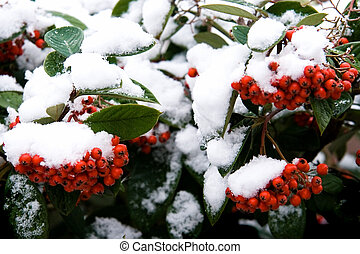 Red berries in winter with snowcap - horizontal image