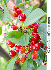 Red berries of cherry, cherries ripen on tree branch