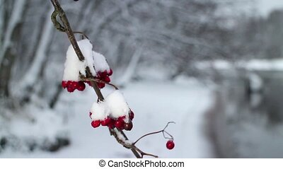 Red berries of mountain ash covered with snow winter...