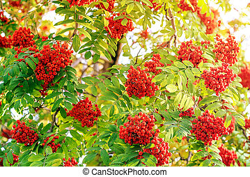 Red berries of mountain ash in the sunlight