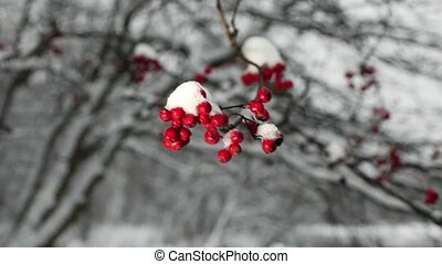 Red berries of mountain ash with snow winter background