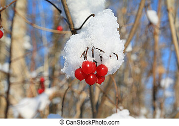 red berries of the viburnum in snow