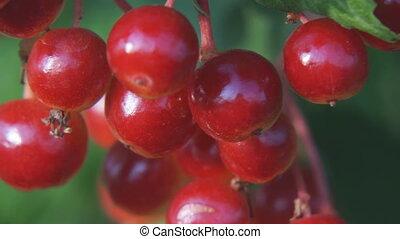 Red berries of viburnum close up. Selective focus