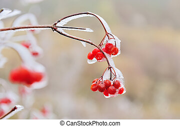Red berries of Viburnum in the frost on a branch