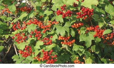 Red berries of viburnum on Bush - Red berries of viburnum on...