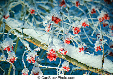 Red berries of viburnum with hoarfrost on the branches ....