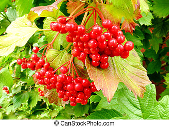 Red berries on a background of green foliage