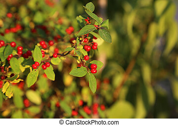 Red berries on a branch with green leaves.