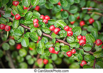 Red berries on a small bush