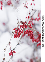 Red berries on a snow branch