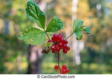 Red berries on branch with green leaves in the forest
