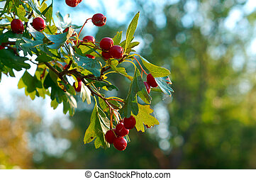 red berries on branches with green leaves of hawthorn