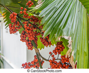 Red berries on the palm tree