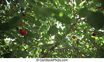 Red berries on the tree