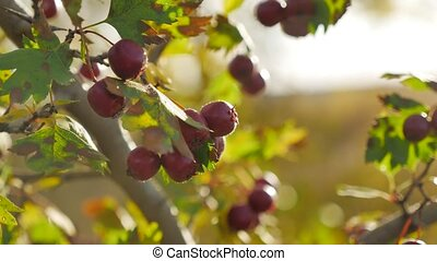 Red berries on thorny branches Red berries. branch autumn...
