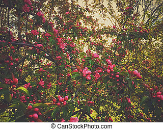 Red berries on tree at sunset in spring