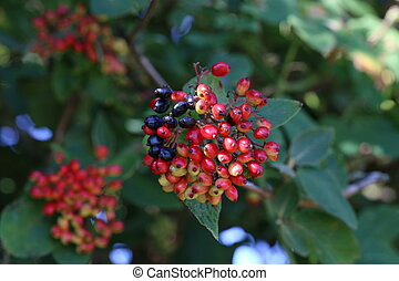 Red berries ripen on bushes in the forest