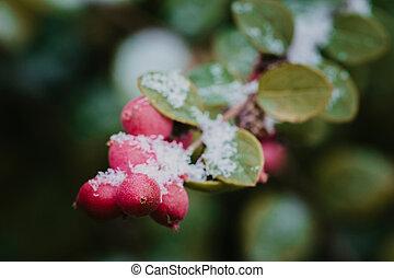 red berries under snow, snow, background