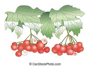 red berries - vector viburnum