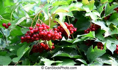 Red berries viburnum in summer