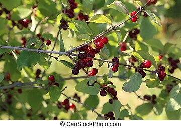 Red berry on the branches in the forest