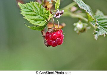 Red berry raspberry with green leaf, close-up