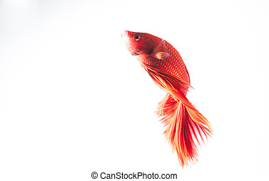 red betta fish on white background isolated