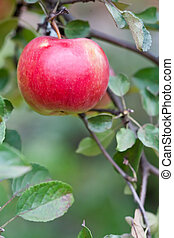 Red big apple on a branch with green leaves