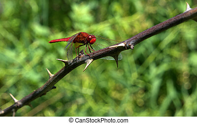 Red big dragonfly sitting at the thorn