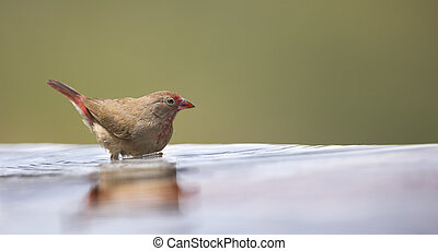 Red-billed Firefinch female having a bath to cool down in a pool