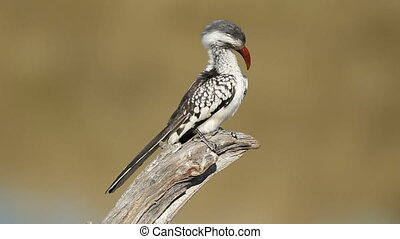 Red-billed hornbill (Tockus erythrorhynchus) sitting on a branch preening, South Africa
