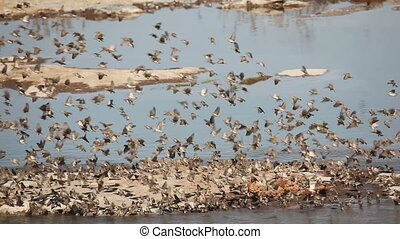 Noisy red-billed Queleas (Quelea quelea) drinking water at a waterhole, Etosha National Park, Namibia