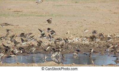 Noisy red-billed Queleas (Quelea quelea) drinking water at a waterhole, Kalahari desert, South Africa
