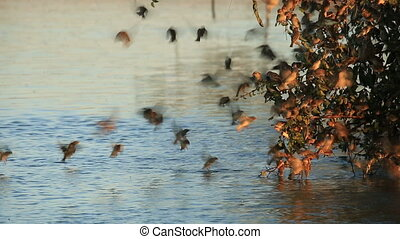 Noisy red-billed Queleas (Quelea quelea) drinking water on the wing at a waterhole, South Africa