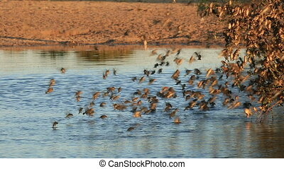 Red-billed Queleas (Quelea quelea) drinking water on the wing at a waterhole, South Africa