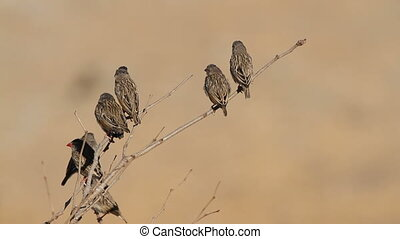 Red-billed Queleas (Quelea quelea) sitting on a tree branch, Etosha National Park, Namibia