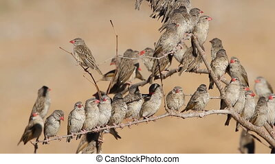 Red-billed Queleas (Quelea quelea) sitting on tree branches,...