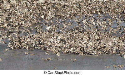 Red-billed Queleas (Quelea quelea) drinking water at a...