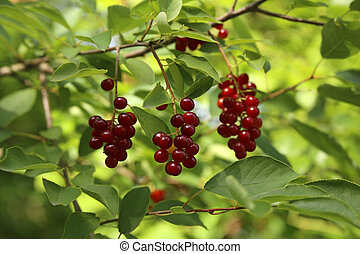 Red bird cherry on a tree branch