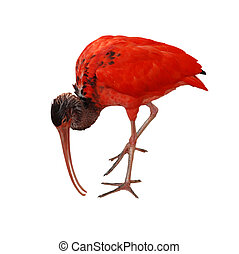 red bird scarlet ibis in front of a white background
